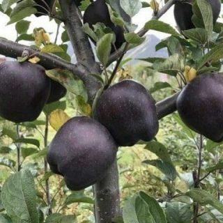Чёрное яблоко