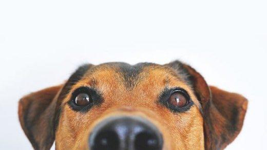 Можно ли давать собакам шоколад